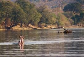 Flusspferde zeigen so, was sie zur Verteidigung (oder zum Angriff) vorzubringen haben.