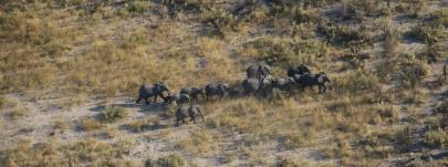 Zahlreiche Elefanten-Herden marschieren über das Land.