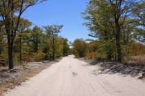 Unser Weg führt uns durch den Herbstwald hindurch zum Campingplatz im Moremi Game Reserve.
