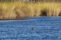 """Ein """"African Delta"""". Auf der Fischjagt schwimmt er mit abgetauchtem Oberkörper und imitiert eine Wasser-Schlange (warum er das macht, konnte uns leider noch niemand erklären)."""