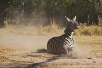 Zebra rollt sich im Sand.