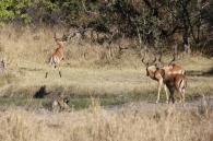 Brüller! Impalas springen über einen Graben.