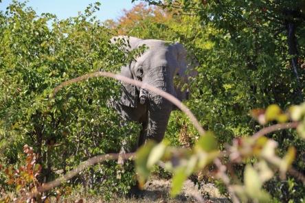 Ein riesiger Elefant - die Männchen wachsen ihr Leben lang immer weiter (die Mädels nicht).