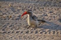 """Ein treuer Wegbegleiter, den wir überall in Namibia und Botswana in der Nähe haben - der """"Toko""""."""