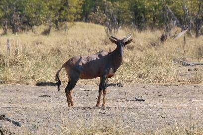 Antilope.