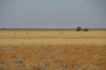 Oryxe sind immer wieder zu sehen, sie kommen gut zurecht in der kargen Welt der Kalahari.