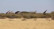 Giraffen, immer in einer Gruppe um die 5-10 Tiere unterwegs.