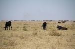 Außerhalb der Kalahari gibt's dann wieder Rinder.