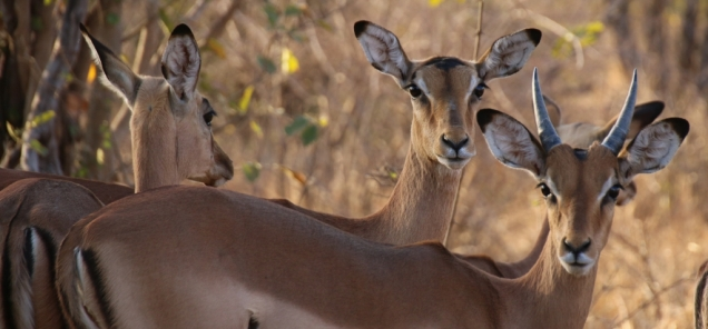 Impalas, sie trifft man überall.