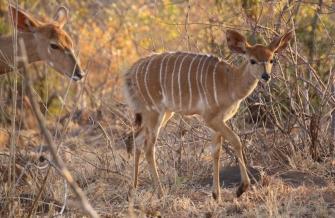 Ein Nyala Weibchen.