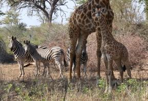 Die kleine Giraffe ist auch schon recht groß.