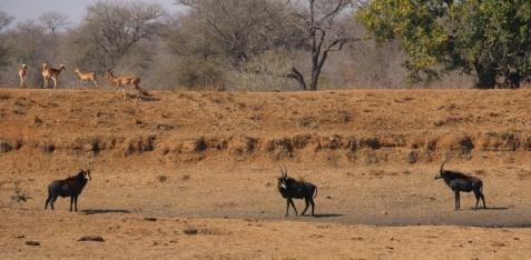 Rappen Antilopen - immer wieder stattliche Erscheinungen.