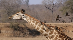 Giraffe - verfolgt.