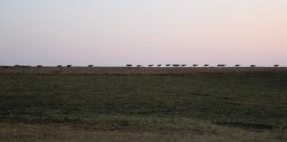 Eine Herde Blessböcke auf dem Weg ins Tal zur Nachtruhe.