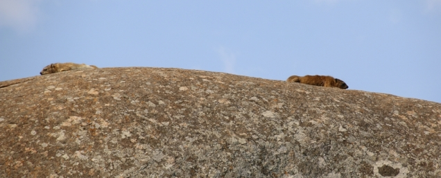 """Klippschliefer, die """"schliefen"""" übrigens gerne am Morgen in der Sonne..."""