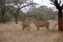 Zwei Kudu-Damen.