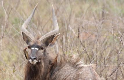Ein Nyala Männchen.
