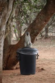 Baboons oder Meerkatzen, so wie dieser hier, sind immer auf der Jagd nach Leckerem.
