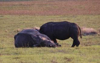 """Man kann es sich gar nicht so recht vorstellen, dass """"kleine"""" Nashörner auch gesäugt werden müssen."""