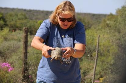 Immer wieder helfen wir Schildkröten über den Weg.