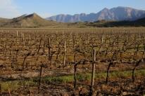 """Weingebiet in der Nähe von """"Stellenbosh""""."""
