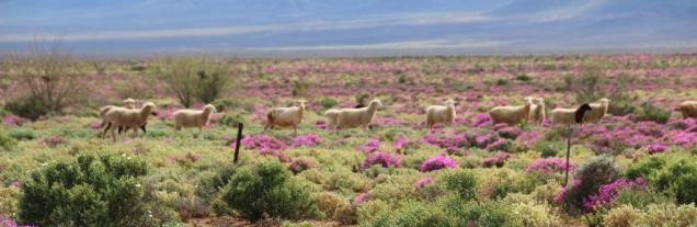 Die Schafe lassen es sich auch gutgehen zwischen all den Blumen.