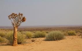 Viel Vegetation gibt es natürlich nicht - in Namibia sieht man hier und da Köcher-Bäume.