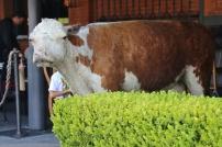 Nun gut, ein echtes Steak-Restaurant braucht eben auch eine ausgestopfte Kuh vor der Tür...