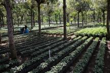 """Besuch auf einer Kaffee-Plantage vor der Stadt. Dies ist die """"Nursery"""", die Baumschule für Kaffeepflanzen"""