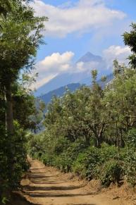 """Kaffeeplantage mit dem """"Fuego"""" im Hintergrund"""