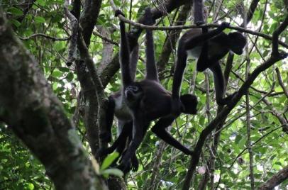 Affen hat es viele